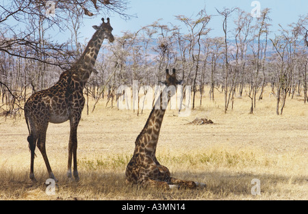Erwachsene Giraffen Serengeti Tansania - Stockfoto