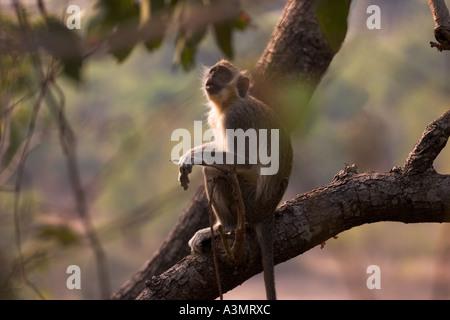 Vervet oder Green Monkey im Baum an Mole National Park, Ghana, Westafrika - Stockfoto