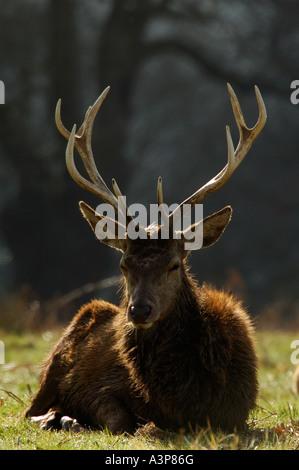 Rothirsch Cervus Elaphus Hirsch ruhen große Geweih Richmond Park Surrey UK - Stockfoto