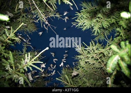 Stare in Land an einen Schlafplatz in einem Nadelbaum Plantage in der Nähe von Kendal, Cumbria, UK - Stockfoto
