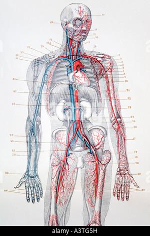 Menschlichen Blutgefäße, Abbildung Stockfoto, Bild: 79460037 - Alamy