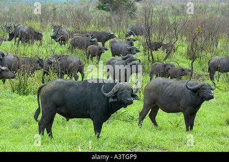 Herde von Büffeln im Krüger-Park - Stockfoto