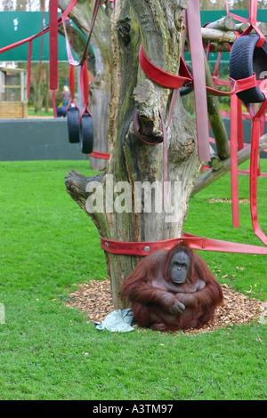 Orang-Utan sitzt eine die Basis eines Baumes in einem Zoo Borneo Orang-Utans Trinkwasser Fluss nass Zufriedenheit - Stockfoto