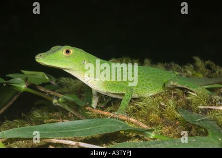 Unbekannte Arten von Wild grüne Anole Eidechse, Pirri Berg, ca 5000 ft Nationalpark Darien, Panama - Stockfoto