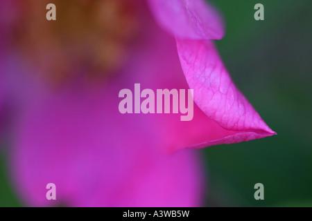 Eine horizontale Nahaufnahme der eine stachelige Rose (Rosa Acicularis) Blume, Alaska, USA. - Stockfoto
