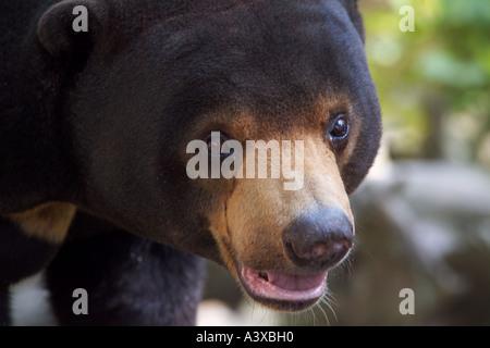 Sun bear, Malay Bär, Ursus Malayanus oder Helarctos malayanus - Stockfoto