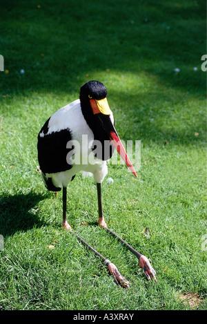 Zoologie / Tiere, Vogelgrippe / Vögel, Sattel – abgerechnet Stork (Nahrung Senegalensis), sitzen, Gras, Verbreitung: - Stockfoto