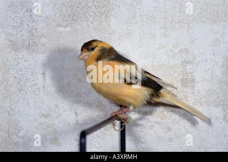 Zoologie / Tiere, Vogelgrippe / Vögel, Kanarienvogel, (Serinus Canaria), sitzt auf bar, Vertrieb: westlichen Kanarischen - Stockfoto