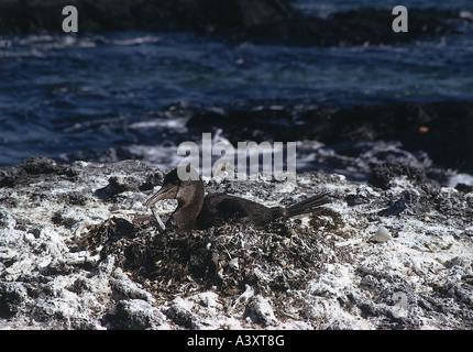 Zoologie / Tiere, Vogelgrippe / Vögel, flugunfähige Kormorane (Phalacrocorax Harrisi), Zucht im Nest, Vertrieb: - Stockfoto