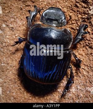 Skarabäus Käfer Unter Haut