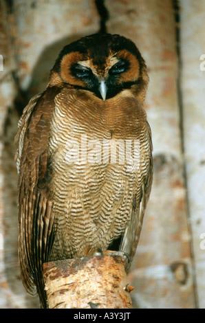 Zoologie / Tiere, Vogelgrippe / Vogel, braun Holz Eule, (Strix Leptogrammica), sitzen auf den Zweig, Walsrode, Vertrieb: - Stockfoto