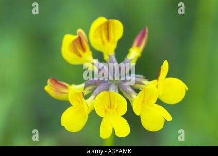 gemeinsamen Vogel's – Foot Trefoil (Lotus Corniculatus), Blütenstand, Deutschland - Stockfoto