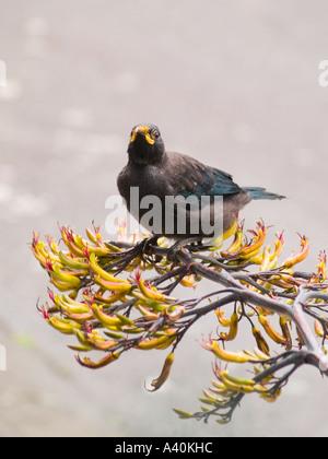 Ein New Zealand Tui Vogel schaut die größte der Honigfresser der Fotograf während der Fütterung auf Flachs Blumen - Stockfoto