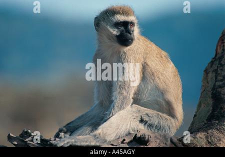Porträt des schwarzen konfrontiert Vervet Affen in Ngorongoro Krater Tansania - Stockfoto
