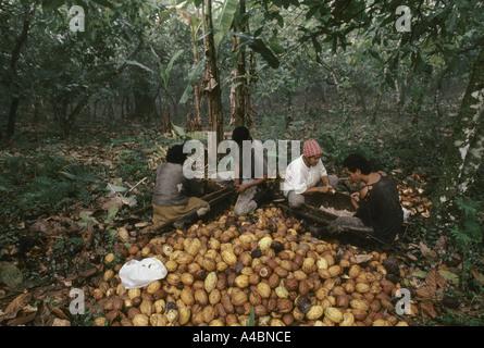 Ein Familie Muscheln Kakao Pads für die Kakao Muttern auf einer Kakao-Plantage, Provinz Bahia, Brasilien. - Stockfoto