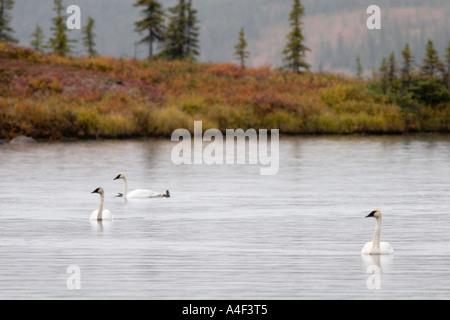 Alaska Trumpeter Schwäne im Wonder Lake Denali National Park september - Stockfoto