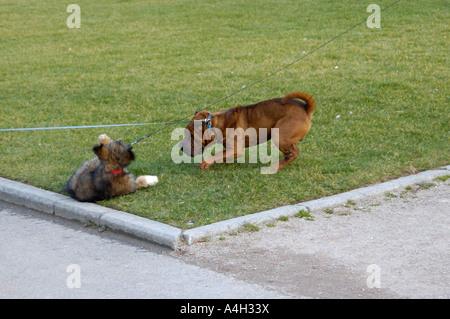Zwei Hunde in einem Park spielen - Stockfoto