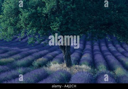 Baum mitten in einem Feld von Lavendel, Plateau de Valensole, Provence, Frankreich - Stockfoto