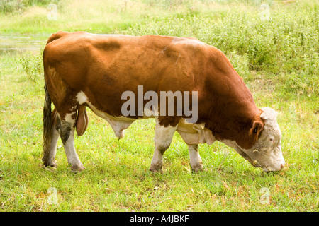 Stock Foto Umfrage Hereford Bull Beweidung in New South Wales Australien - Stockfoto