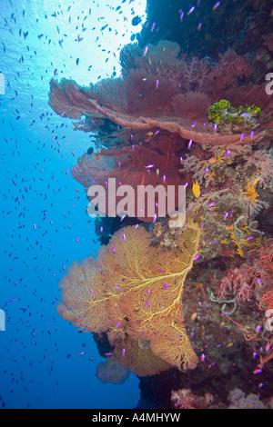 bunte Gorgonien auf das Riff mit blauem Wasser und Fische - Stockfoto