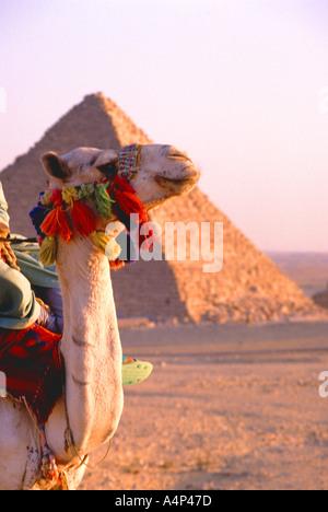 Kamele bei den großen Pyramiden von Gizeh in der Nähe von Kairo - Stockfoto