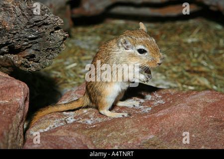 Mongolische Rennmaus / Meriones Unguiculatus - Stockfoto