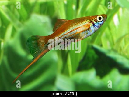 grüne Schwertträger / Xiphophorus Helleri - Stockfoto