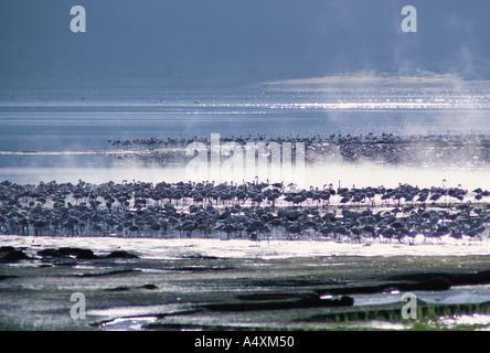 Lesser Flamingos und Dampfwolken Lake Bogoria Kenia in Ostafrika - Stockfoto