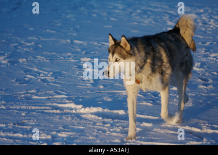 Porträt: Wolfe (Siberian Husky) im Winter Einstellung - Stockfoto