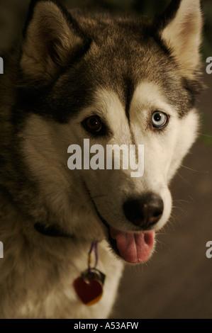Porträt: Wolfe (Siberian Husky) - Stockfoto