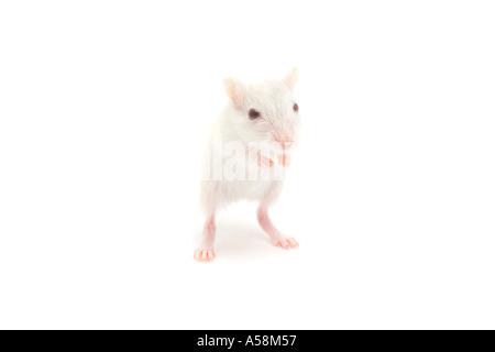 Weiße inländischen Wüstenrennmaus auf weißem Hintergrund - Stockfoto