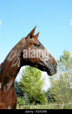 Pura Raza Espanola-Andalusier Andalusier - Stockfoto
