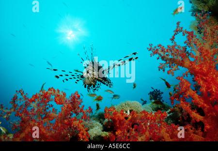 Rote Feuerfische in farbenprächtigen Korallen Riff, Pterois Volitans, Rotes Meer - Stockfoto