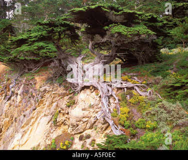 Alte Veteranen Cypress Point Lobos State Reserve Kalifornien USA - Stockfoto