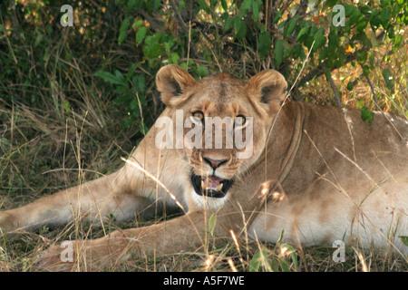 Löwe liegend in den Rasen auf die Masai Mara, Safari, Kenia, Afrika - Stockfoto