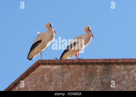Zwei Weißstörche nisten auf Dach Lagos Algarve Portugal - Stockfoto