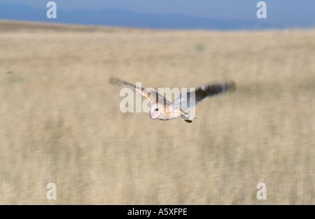 Schleiereule im Flug Colorado USA - Stockfoto
