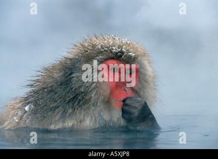Snow Monkey in heißen Quellen Jigokudani Honshu Japan - Stockfoto