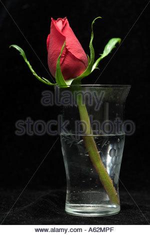 eine einzelne Rose in ein Glas Wasser vor einem schwarzen Hintergrund - Stockfoto