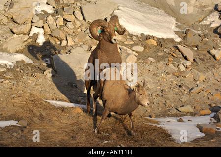 Zwei Rocky Mountain Bighorn Schafe - Stockfoto