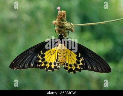 Gemeinsamen Birdwing Schmetterling (Trioden Helena) Malaysia Sri Lanka IndiaPapua Neu-Guinea und Irian Jaya - Stockfoto