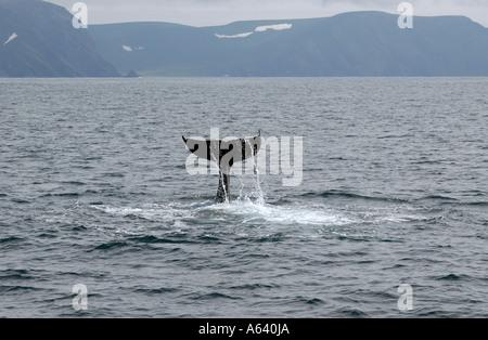 Eine Rute der wilden Killerwal. Nord-Pazifik, Kamtschatka, Russland - Stockfoto