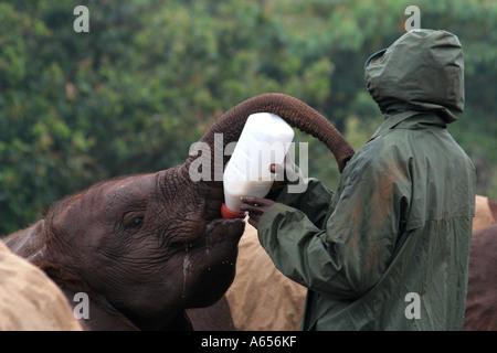 Nairobi Elefantenwaisenhaus, Handler Fütterung ein Elefantenbaby mit einer Flasche, Nairobi, Kenia, Ostafrika - Stockfoto