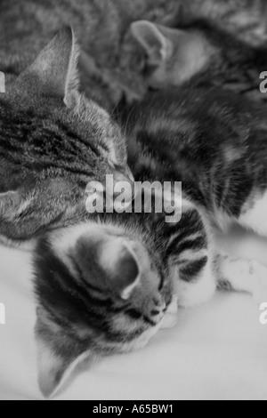 Tabby Katze rollte sich mit ihren zwei Kätzchen - Stockfoto