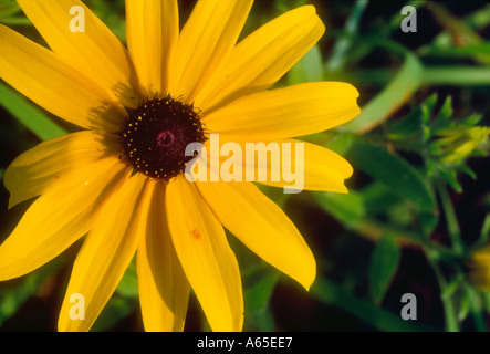 Wildblumen Sonnenhut Rudbeckia Hirta Westvirginia - Stockfoto
