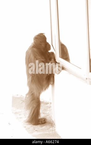 Orang-Utan Blick durch das Fenster in sepia - Stockfoto
