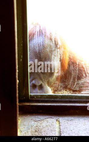 Orang-Utan Blick durch ein Fenster - Stockfoto