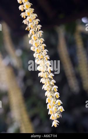 Orchidee in Enid ein Haupt-Konservatorium in New York Botanical Gardens Bronx New York City NYC NY USA - Stockfoto