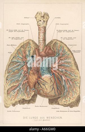 Vorderansicht der Lunge - Stockfoto