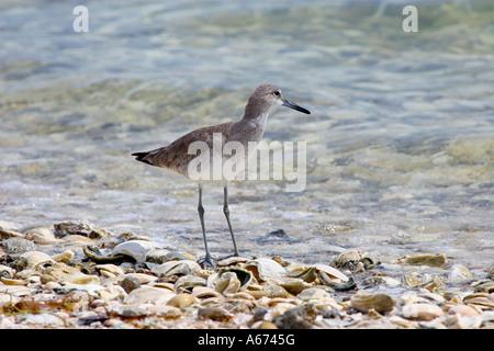 Willet Sanibel Island Florida - Stockfoto